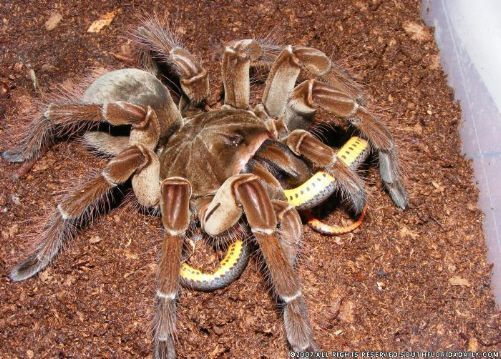 Goliath-Bird-Eating-Spider-2