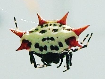 horn spider